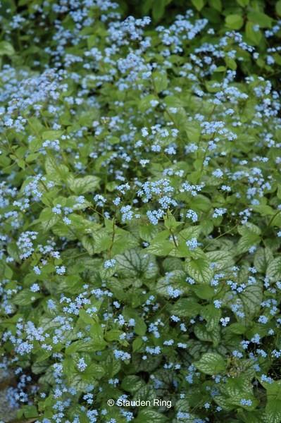 Kaukasus-Vergissmeinicht - Brunnera macrophylla 'Jack Frost'
